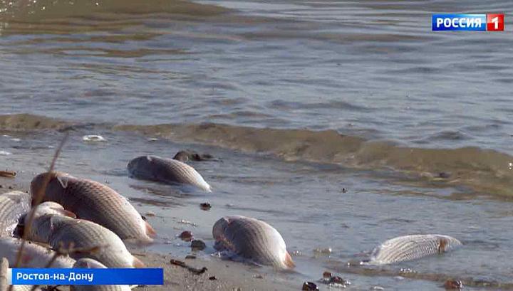 Основная версия массовой гибели рыбы в Ростове – браконьерство
