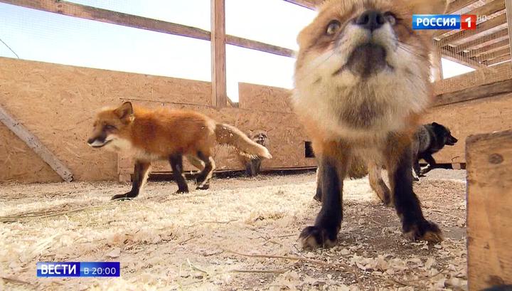 Апрельская погода в феврале: лисы дали прогноз на весну