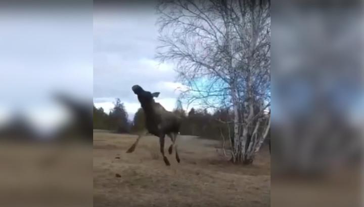 Спасенный лось разбил под Якутском окно машины и убежал. Видео