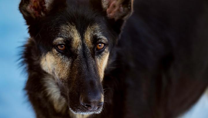 Собак научили определять мочу коронавирусных больных