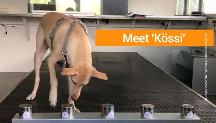Ученые выяснили, что собаки могут чуять зараженных COVID-19