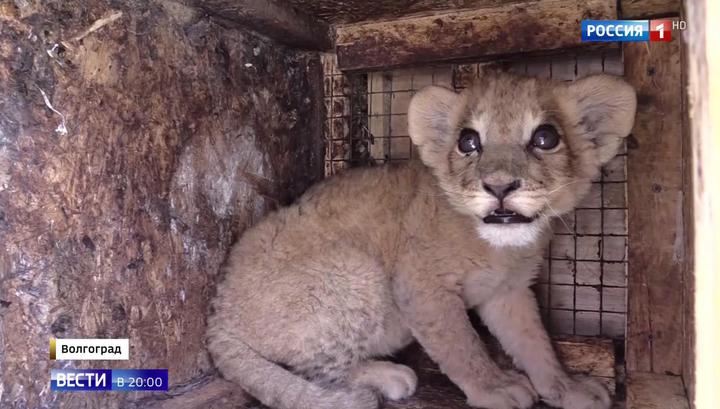 Прикинулся собакой: в Москву из Махачкалы в багаже везли львенка