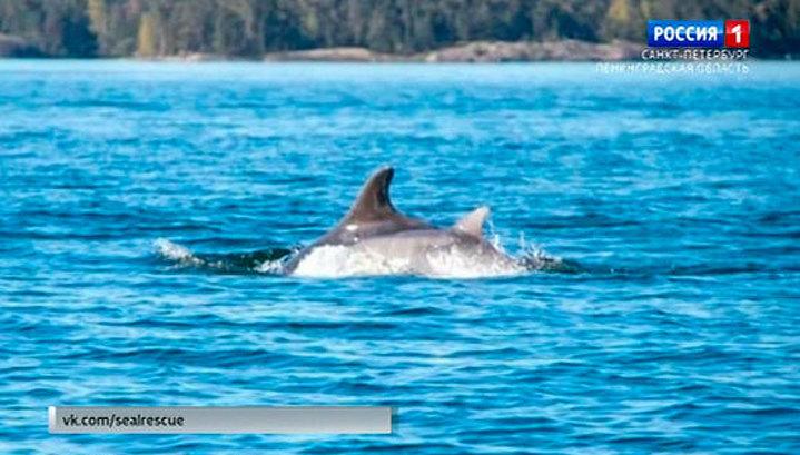 Атлантические дельфины заплыли в российскую акваторию Финского залива