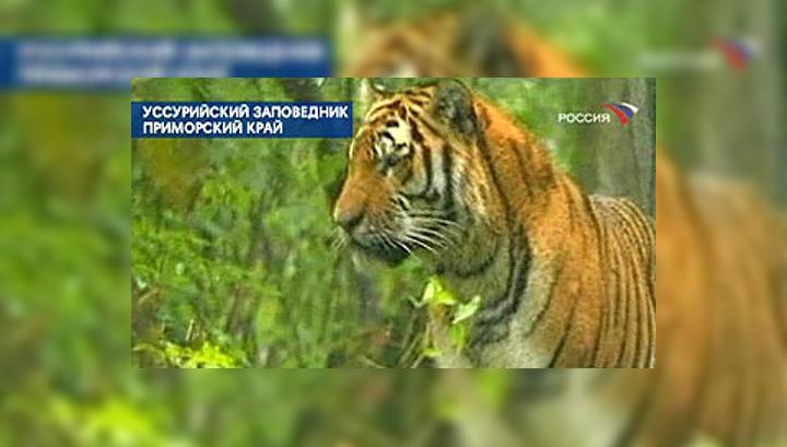 Ошейник для тигра