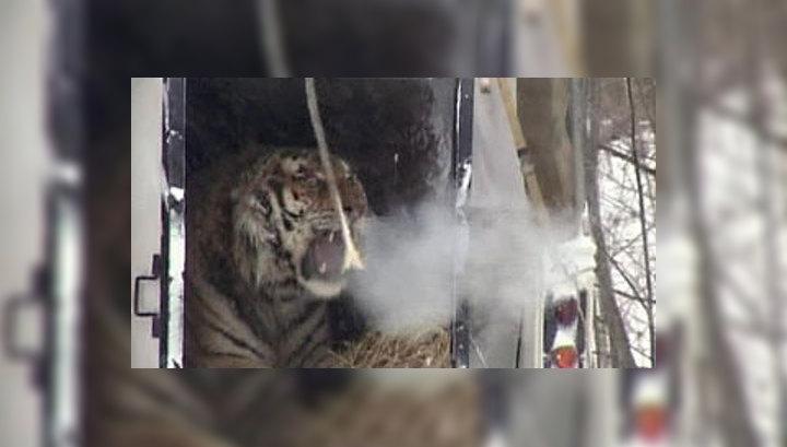 В Амурскую область возвращаются тигры