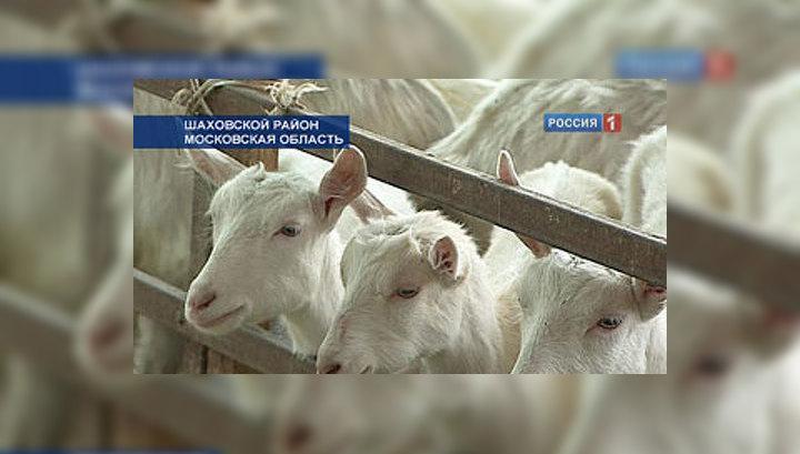 Московские генетики хотят получать молоко для младенцев от трансгенных коз