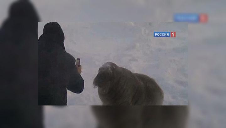 В Ижевский зоопарк прилетел осиротевший моржонок