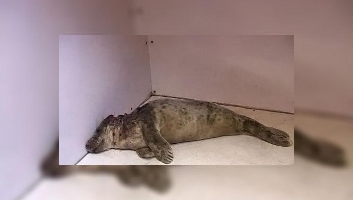 Открытие калининградских физиков спасло раненого тюлененка