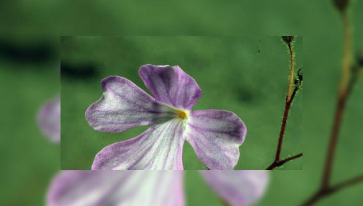 Растение с тонкими длинными стеблями и фиолетовыми цветками произрастает на бедных полезными веществами песках бразильской саванны (фото Rafael Oliveira, Universidade Estadual de Campinas).