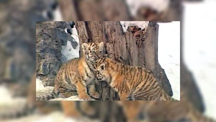 На Дальнем Востоке посчитали амурских тигров