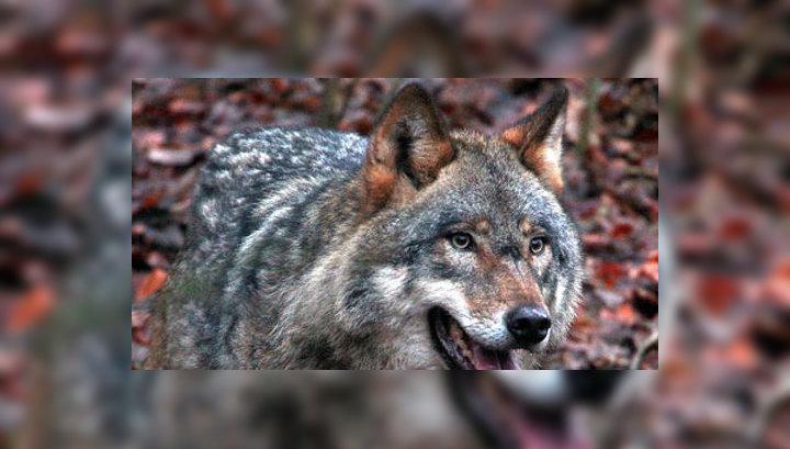 В Якутии из-за нашествия волков ввели режим ЧС