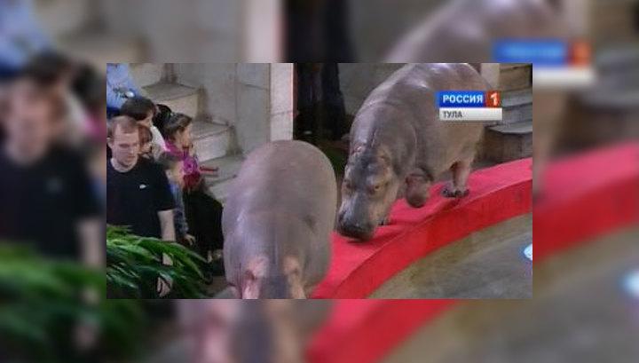 В Тулу приехали единственные в мире бегемоты-трюкачи