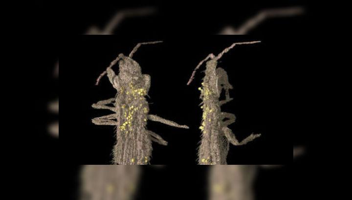 Янтарь мелового периода из cеверной Испании показал учёным первых насекомых-опылителей (фото Enrique Penalver, IGME).