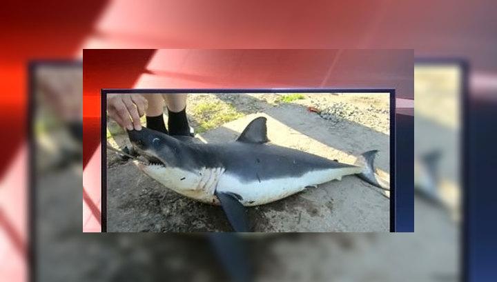 В Приморье выбросило на берег мертвого детеныша акулы