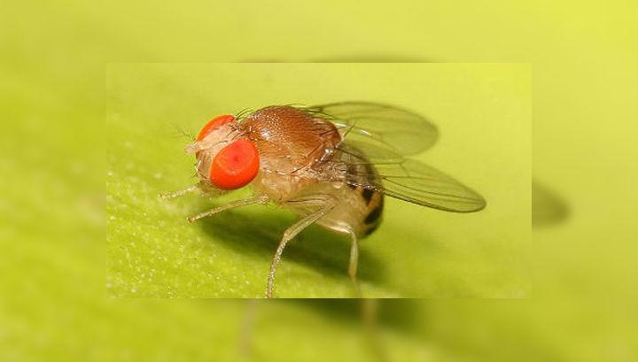 Плодовая муха дрозофила является модельным организмом многих генетических исследований