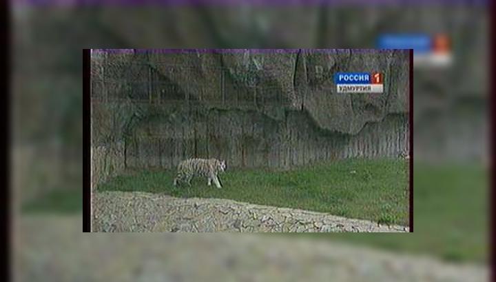 Новорожденного тигрёнка в ижевском зоопарке вскормила коза Зося