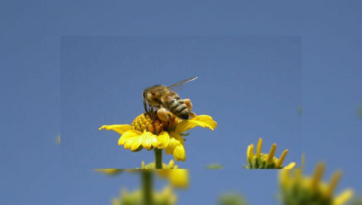 Пчёлы могут почувствовать запах цветов за 4,5 километра, так почему бы им не использовать эту способность в поиске взрывчатки?