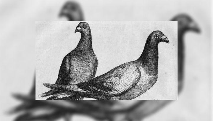 """Американский геофизик выяснил, что для """"расчёта"""" пути домой почтовые голуби наряду с обонянием и линиями магнитного поля Земли используют инфразвуковые волны"""