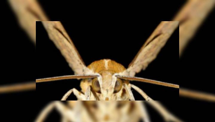 Бражники — довольно крупные, но при этом беззащитные насекомые. Им необходимо использовать уловки для обороны себя и товарищей по несчастью (фото Boise State University).
