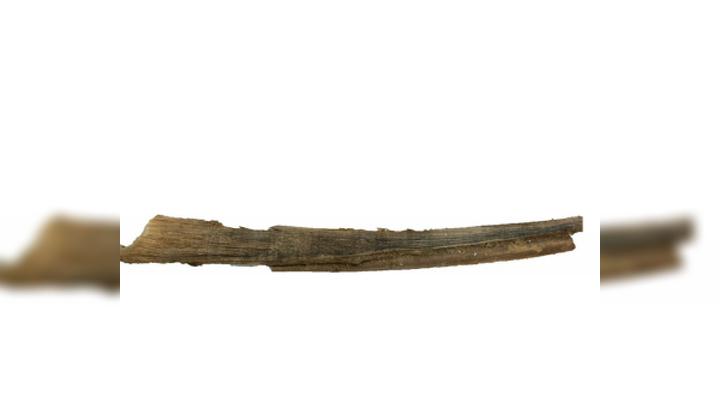 Ушная пробка длиной 25 сантиметров, которую учёные извлекли из головы мёртвого 12-летнего голубого кита