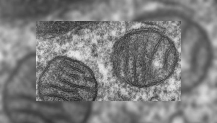 Фотография электронного микроскопа, показывающая митохондрии человека в поперечном сечении. Митохондрии могут содержать неисправные ДНК