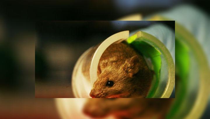 Пересаженные железы отлично прижились в организме мышей