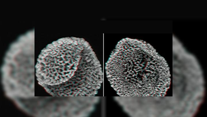 Ископаемые оболочки пыльцевых зёрен стали для учёных свидетельством в пользу того, что цветковые растения появились во времена среднего триасового периода