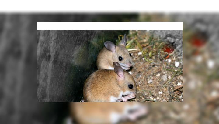 Сумчатые мыши – млекопитающие, практикующие суицидальное спаривание
