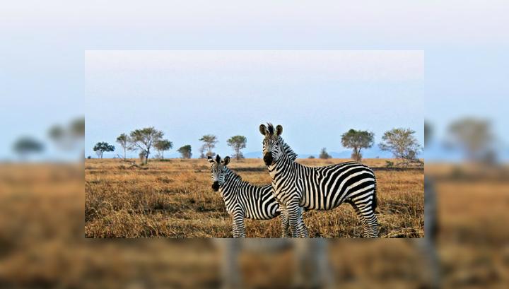 Две зебры в национальном парке