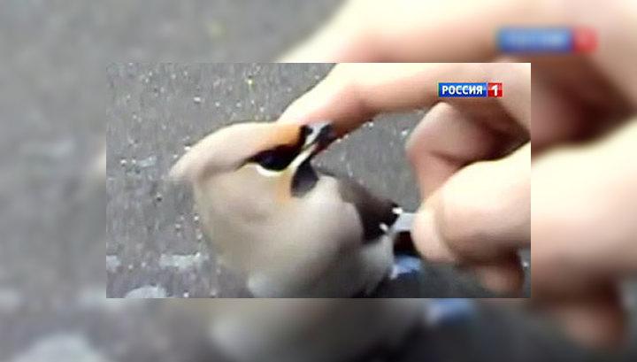Пьяные птицы в Новосибирске никак не могут протрезветь