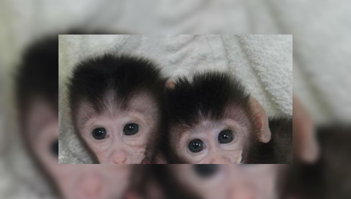В Китае появились на свет первые генно-модифицированные макаки-крабоеды