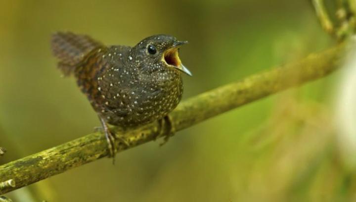Вид Elachura formosa – единственный представитель своего семейства