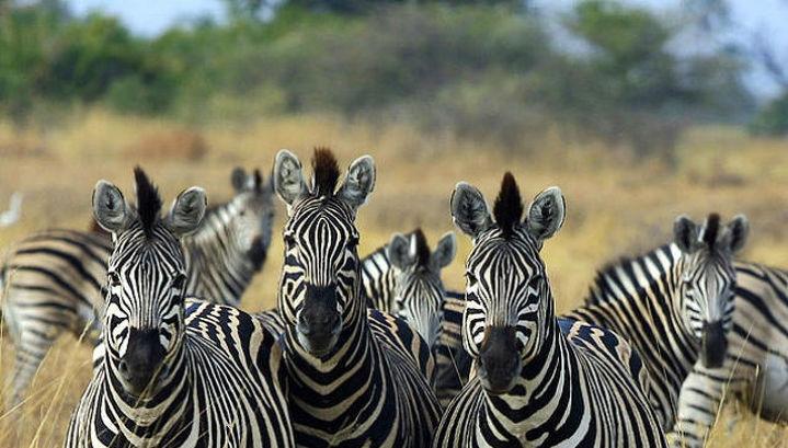 Новое исследование показало, что уникальная полосатость зебр необходима животным для защиты от мух
