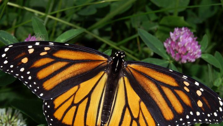 В усиках данаид монархов есть своеобразный  магнитный компас
