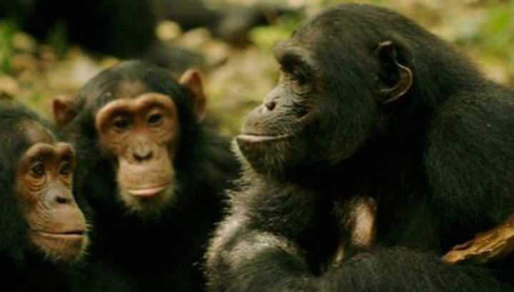"""Шимпанзе всегда проверяют, слушают ли их """"собеседники"""""""