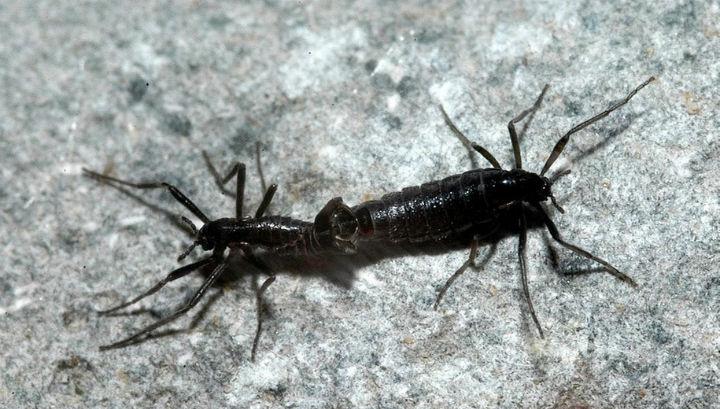 Два представители вида Belgica antarctica