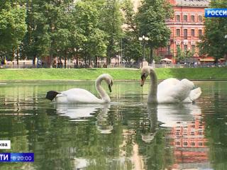 Вести в 20:00. На Патриарших прудах появился новый лебедь
