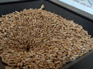 Россия резко сократила экспорт пшеницы