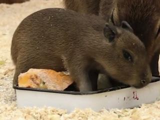 Видео из Сети. В Ленинградском зоопарке появился на свет детеныш капибары. Видео