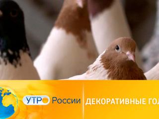 Утро России. Декоративные голуби