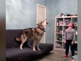Жительница Уфы живет в квартире с гибридом волка