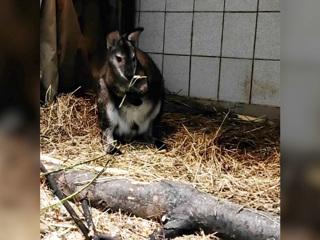 Видео из Сети. В Московском зоопарке поселились карликовые кенгуру