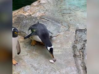 Видео из Сети. Помолвка в зоопарке: московские пингвины дарят ювелирку возлюбленным