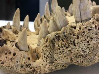 Раскрыта тайна вымершего рогатого крокодила