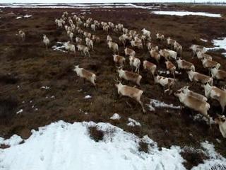 Новости на России 24. На Ямале начался перегон оленей на летние пастбища
