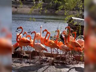 Видео из Сети. Московские фламинго переехали в летний вольер