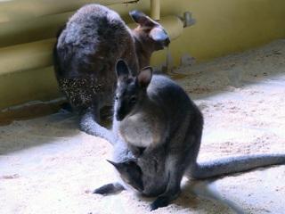 Вести. В белгородском зоопарке родились три детеныша кенгуру