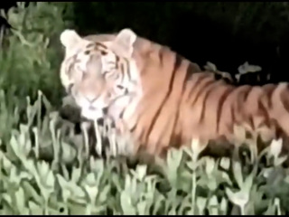 Амурский тигр полакомился клубникой в огородах приморцев