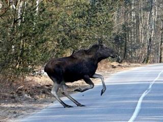 В Тверской области водитель сбил лося и получил сотрясение мозга