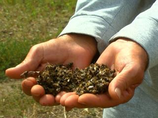 """Вести. """"Прожорливые гусеницы"""": в Алтайском крае появился луговой мотылек-вредитель"""